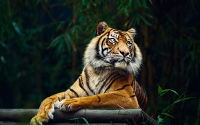 animals, big cats, tiger, nature