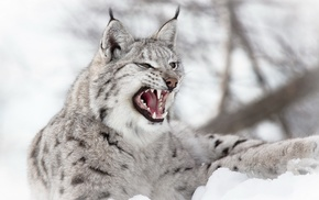 nature, wildlife, lynx, wild cat, depth of field, animals