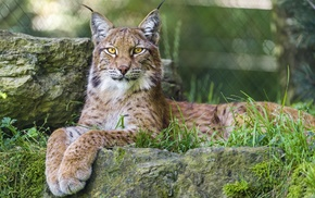 lynx, nature, big cats, animals