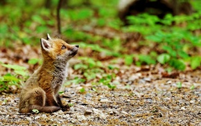 plants, field, fox, depth of field, baby animals, animals