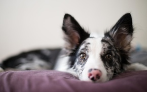 depth of field, dog, puppies, Border Collie, animals