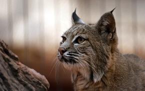 big cats, lynx, nature