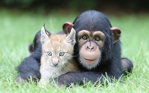 grass, lynx, chimpanzees, baby animals, nature, animals