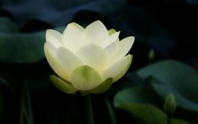 petals, lotus flowers, flowers, closeup, Buddhism, symbolic