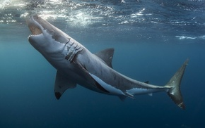 Great White Shark, shark