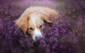 flowers, depth of field, dog, purple flowers, animals