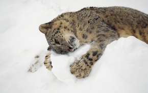 animals, snow, snow leopards, hugging