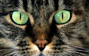 cat, green eyes, fur, closeup, animals, hair