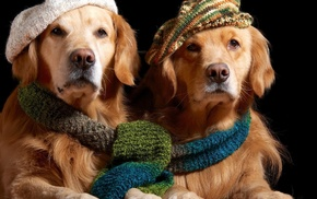 scarf, dog, animals, golden retrievers, hat