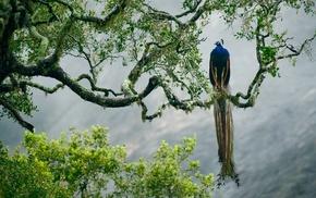 birds, peacocks