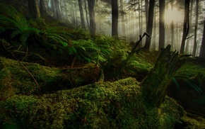trees, sunrise, hill, nature, forest, ferns