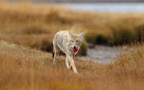 wolf, animals
