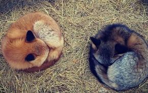 fox, animals, nature
