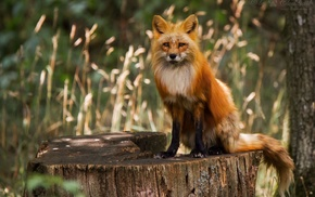 animals, fox