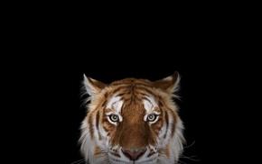 Bengal tigers, simple background, wildlife