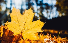 maple leaves, trees, fall, closeup, depth of field, leaves