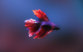 fish, low poly, Siamese fighting fish