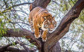 tiger, trees, animals, wildlife