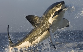 white shark, shark, jumping, sea