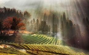 fall, nature, tea, South Korea, trees, sun rays