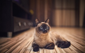 cat, indoors, animals