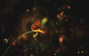 insect, animals, macro, lepidoptera