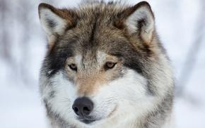 animals, snow, wolf