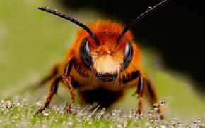 hymenoptera, bees, insect, macro