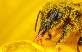 hymenoptera, pollen, insect, macro, bees