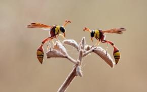 macro, animals, wasps, hymenoptera, insect