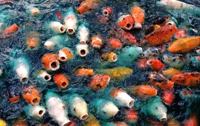 animals, carp, fish, koi
