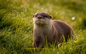 grass, depth of field, otters, animals, mammals