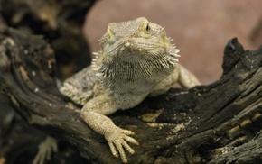 macro, reptile, lizards, animals