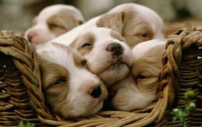 baskets, dog, animals, baby animals, puppies