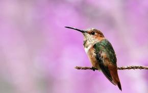 birds, hummingbirds, macro