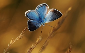 butterfly, blue, nature, macro