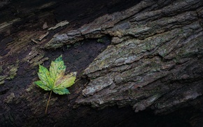 nature, leaves, moss, branch, wood, maple leaves
