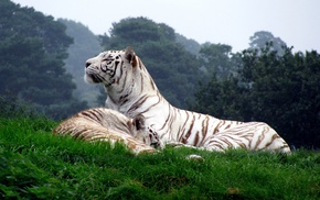 nature, tiger, white tigers, animals, big cats