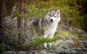 dog, Siberian Husky, animals, nature, forest, trees