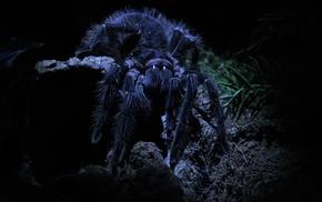 macro, tarantula, spider