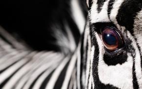 zebras, macro, animals