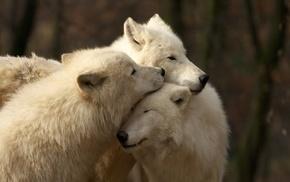 wolf, white