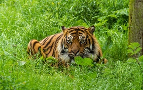animals, green, nature, big cats, tiger