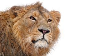 lion, mammals, animals