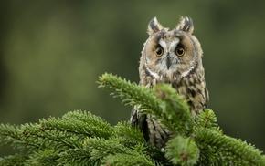 macro, owl, birds