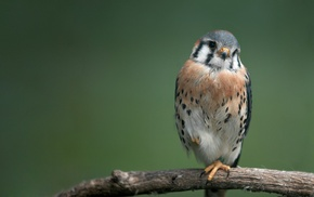 animals, American Kestrel