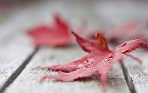 macro, maple leaves, leaves, fall, nature, closeup