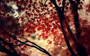 leaves, maple leaves, trees