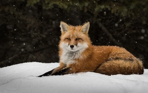 snow, winter, fox