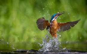 birds, kingfisher, animals, water drops, nature